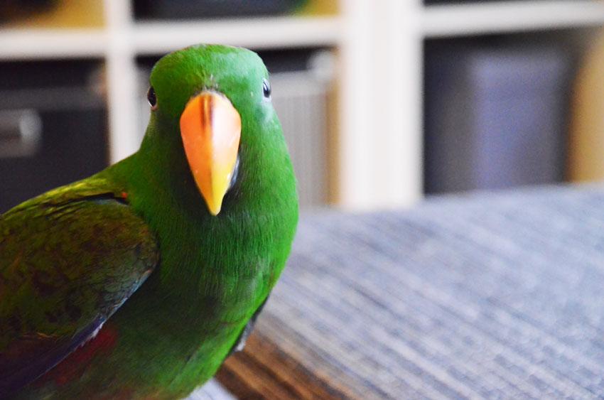kiwi-pappagallo