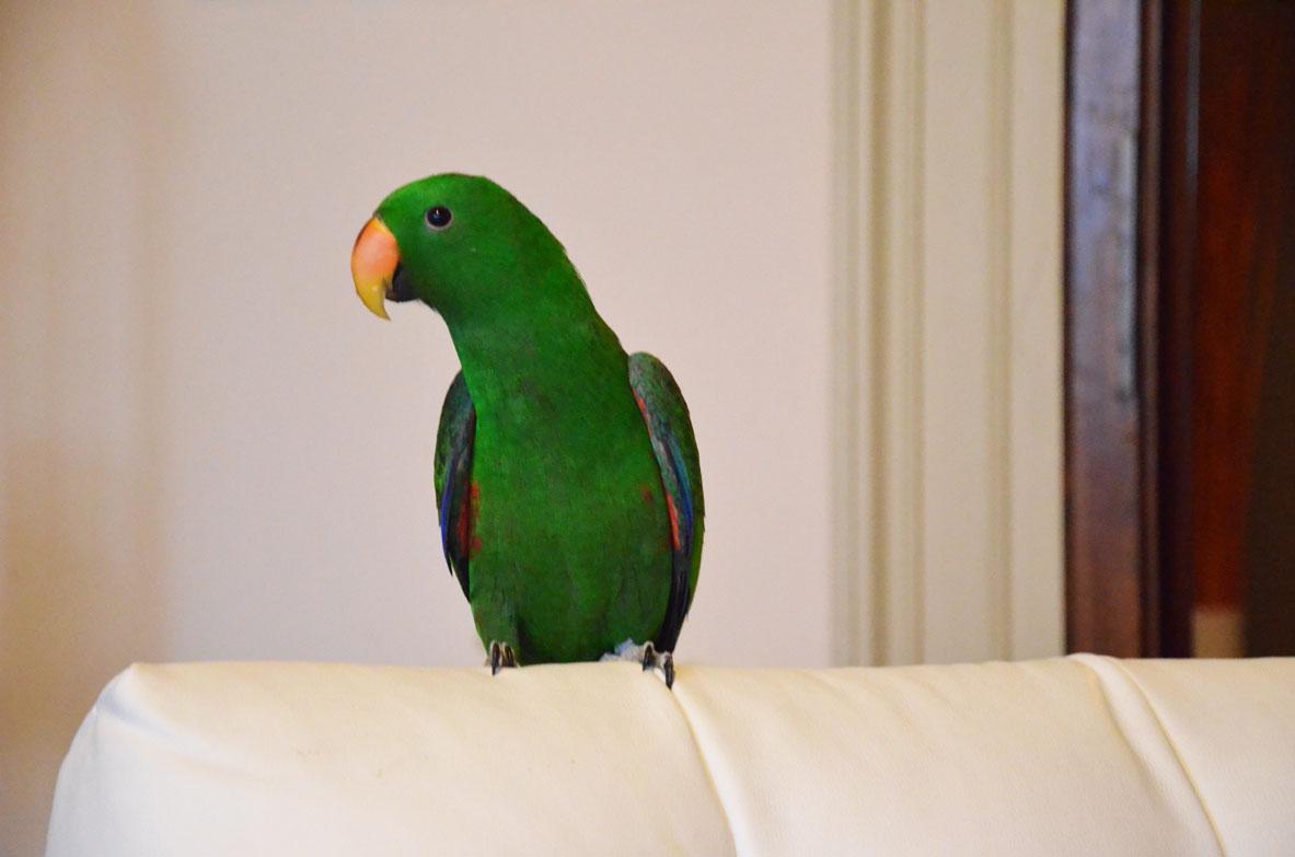 pappagallo-verde-ecleto