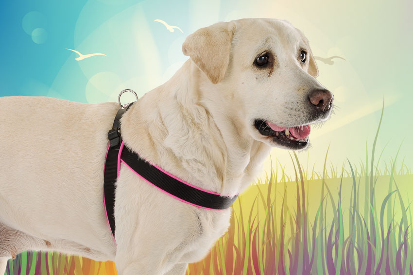 Labrador dog with Agila harness