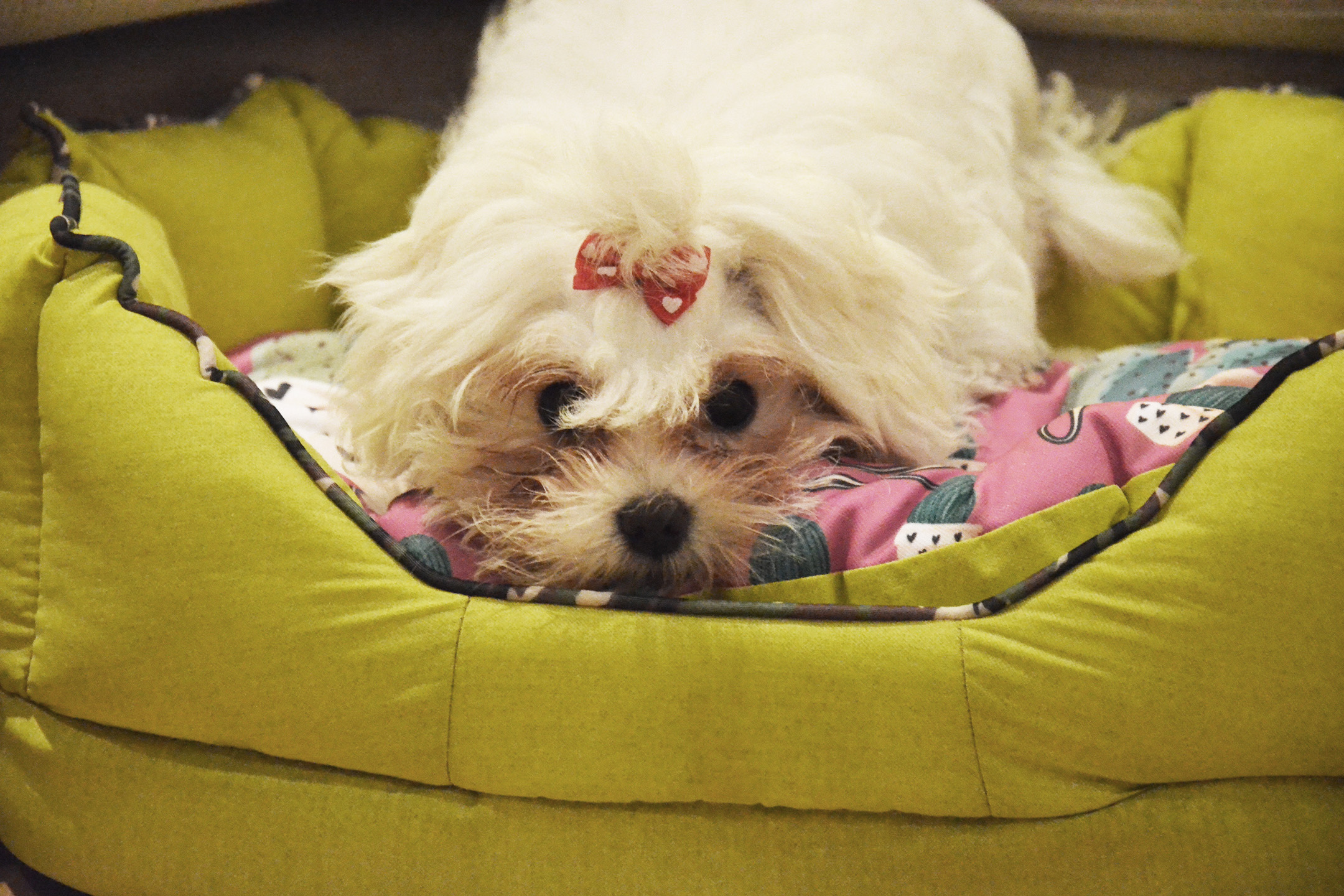 maltese dog on ferplast fiore cactus dog bed