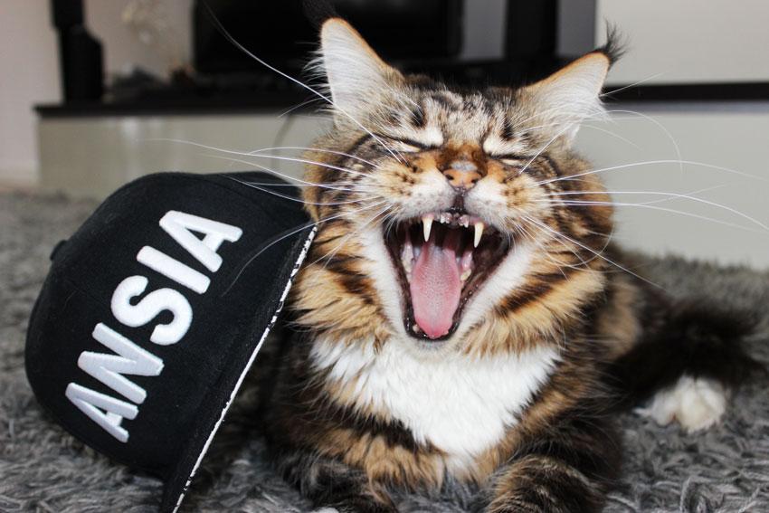 gatos e estresse : Maine Coon cat yawning