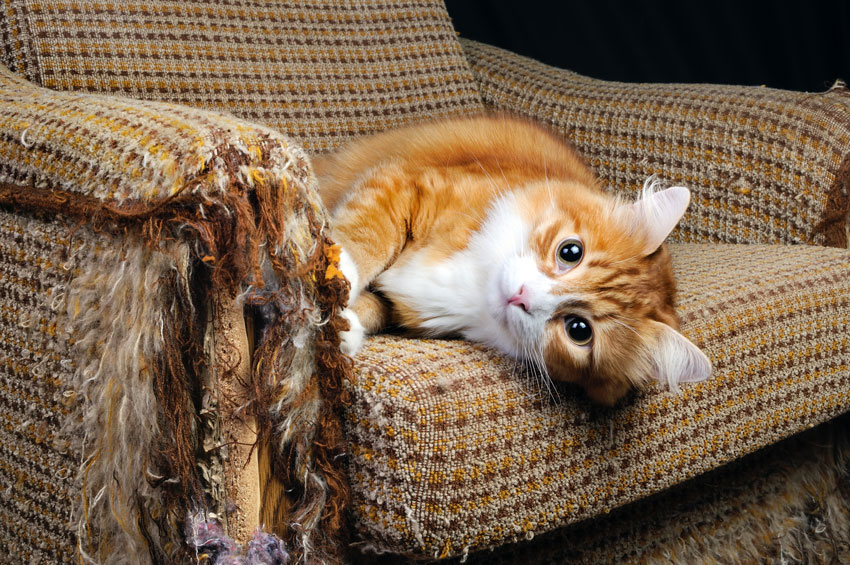 gatos e estresse: red cat scratching the sofa
