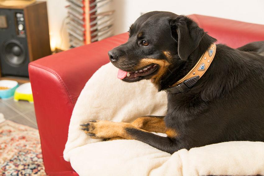 come proteggere il cane dal freddo Rottweiler sdraiato su cuscino double-face Relax F di Ferplast