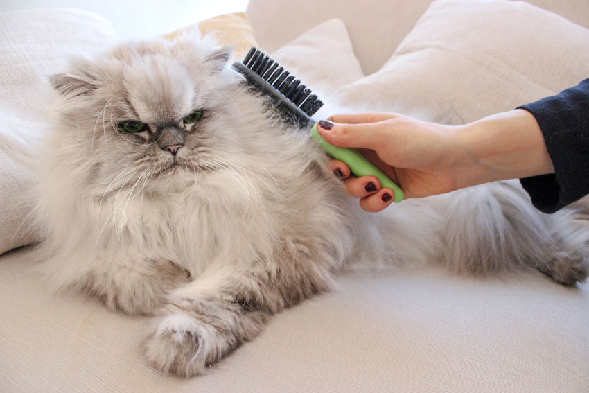 Persian Chinchilla cat on a sofa being groomed with a double sided brush