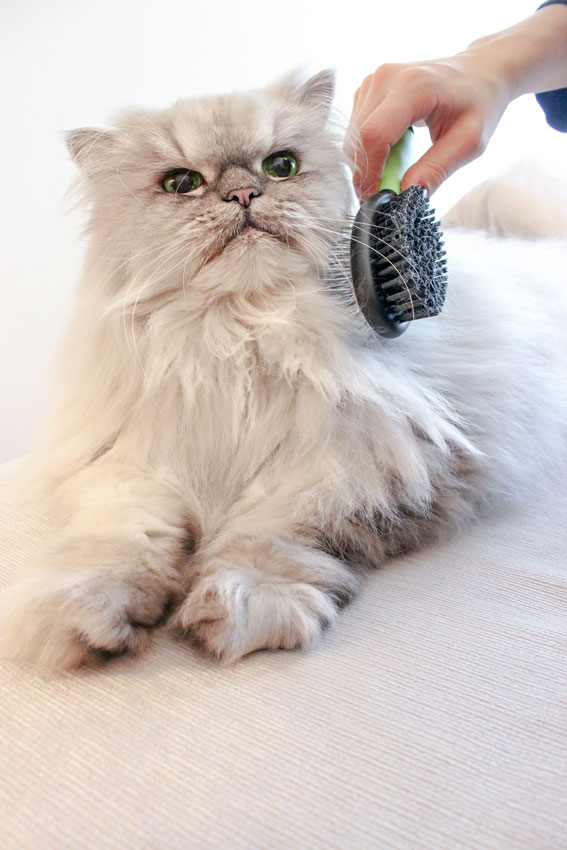 Persian Chinchilla cat and the grooming with the brush
