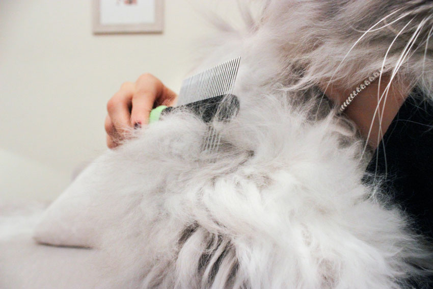 the coat grooming of a persian chinchilla cat with a double sided comb