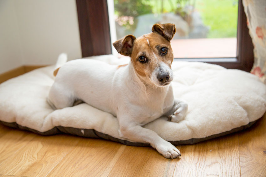 Jack Russell dog lying on Ferplast Relax F dog cushion