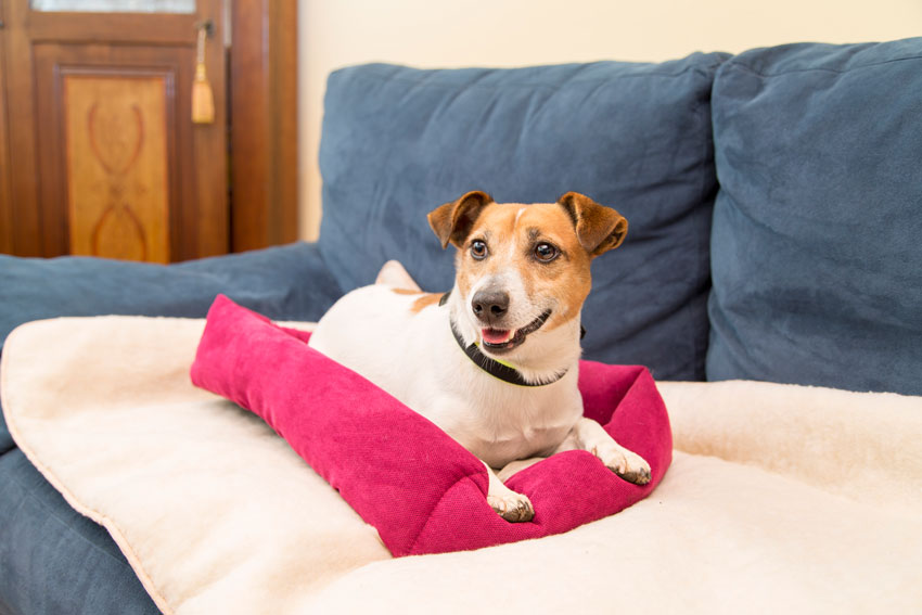 protect your dog from the cold Jack Russell dog lying on Thermo Lord heated dog bed by Ferplast