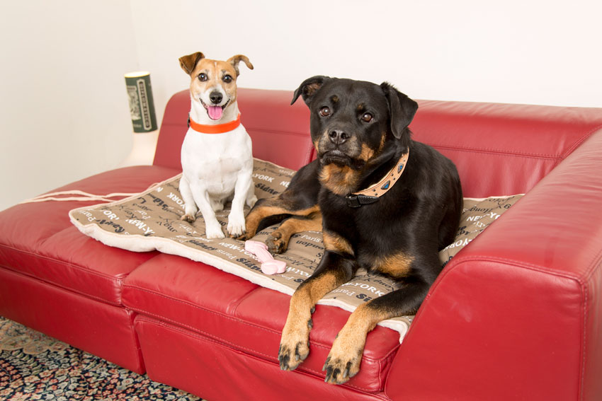 protect your dog from the cold Jack Russell and Rottweiler dogs lying on Ferplast double-sided dog blanket Nanna F