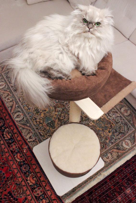 gatto Persiano Chinchillà sdraiato sopra un saltagatto