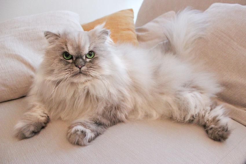 Gatto Persiano Chinchillà sdraiato su un divano