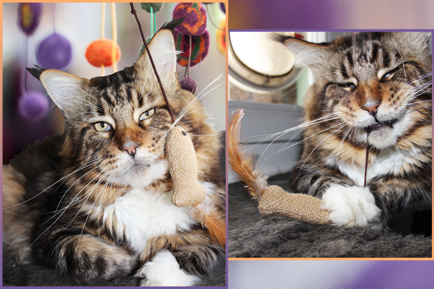 Maine Coon cat and a cat toy with funny pendant