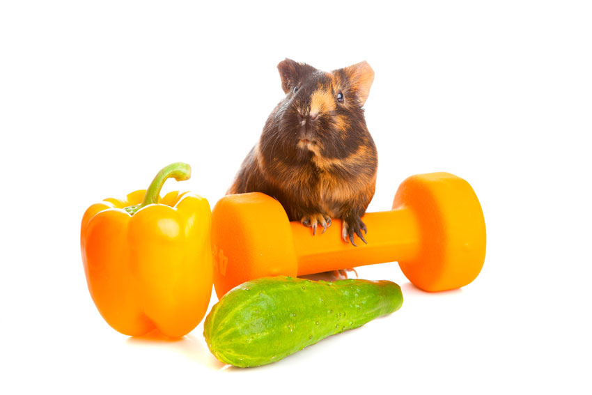 rodents healthy diet: guinea pig with vegetables