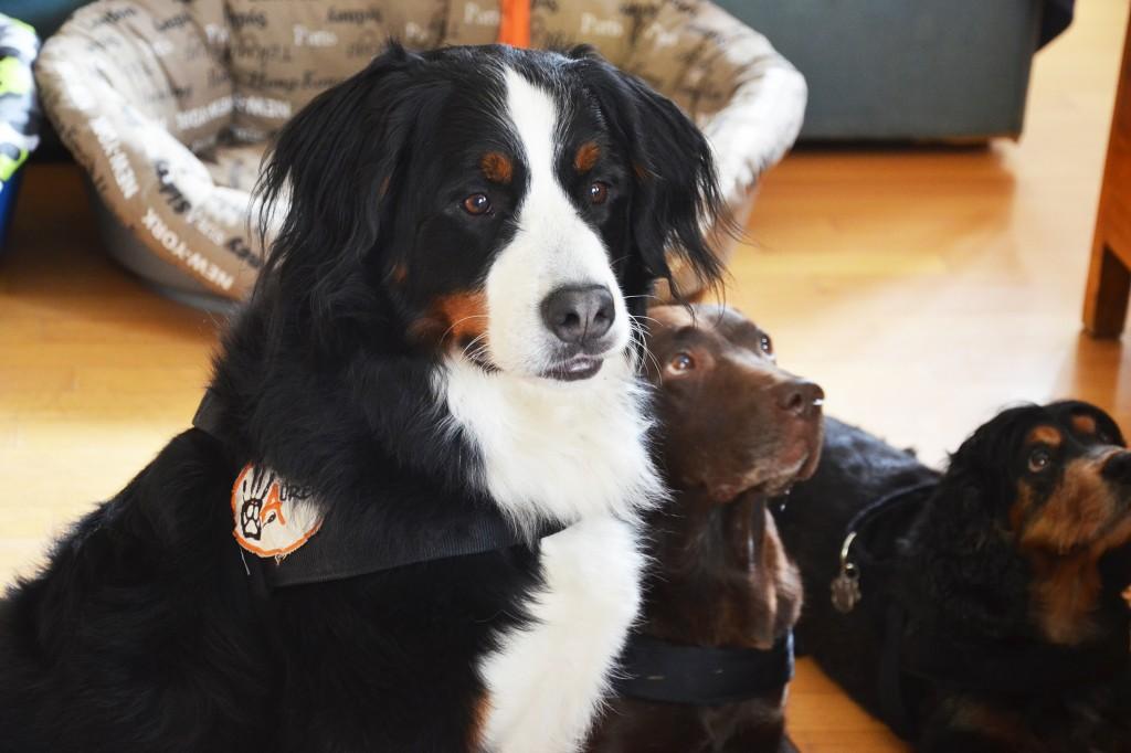 pet-therapy-ferplast-blog-associazione-aurea-italia-guarire-con-animali-bovaro-bernese