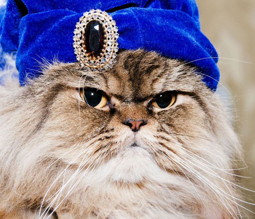 Persian cat with a blue turban and a severe look