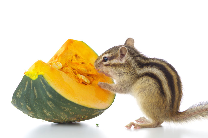 rodents diet: squirrel with a piece of pumpkin