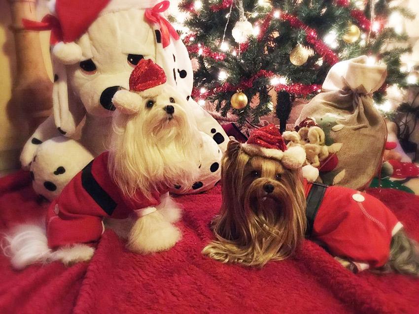 animais de estimação e Natal