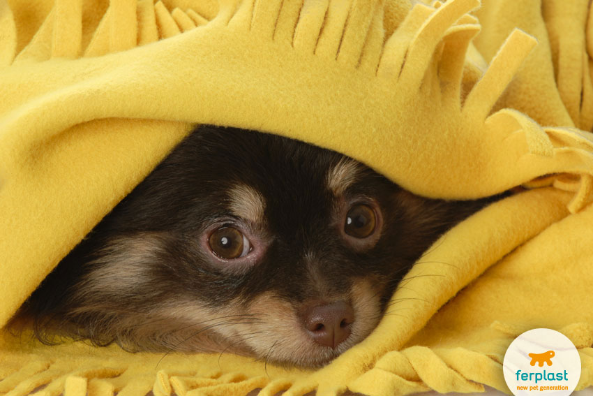 scared pomeranian breed dog hiding under a yellow blanket
