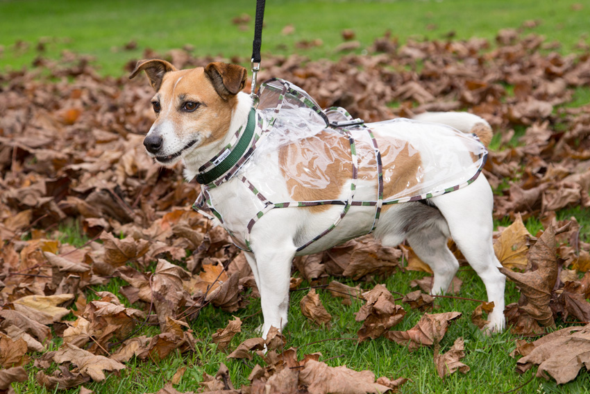 jack russell breed dog with ferplast raincoat model windproof and waterproof dog coat