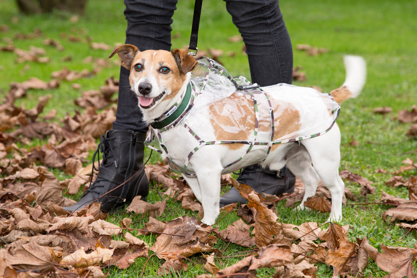 happy jack russell breed dog with ferplast raincoat model waterproof and windproof coat