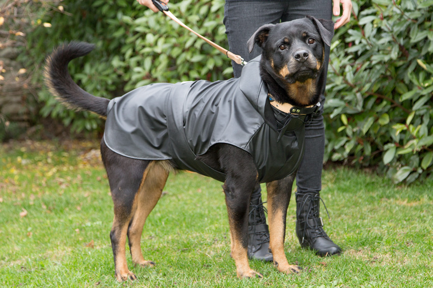 rottweiler breed dog with ferplast trench model dog waterproof and windproof coat