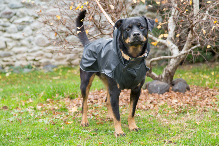 rottweiler dog breed with Ferplast Trench Black raincoat
