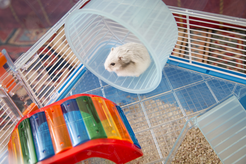 hamster having fun spinning the wheel
