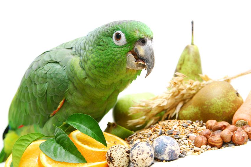 dieta del pappagallo cosa mangia per un'alimentazione sana