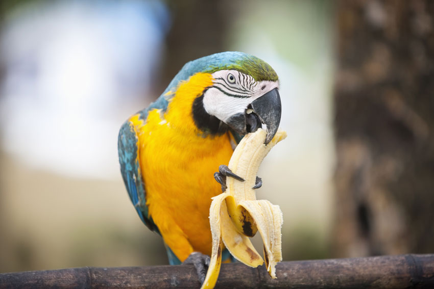 pappagallo che mangia una banana appollaiato su un ramo