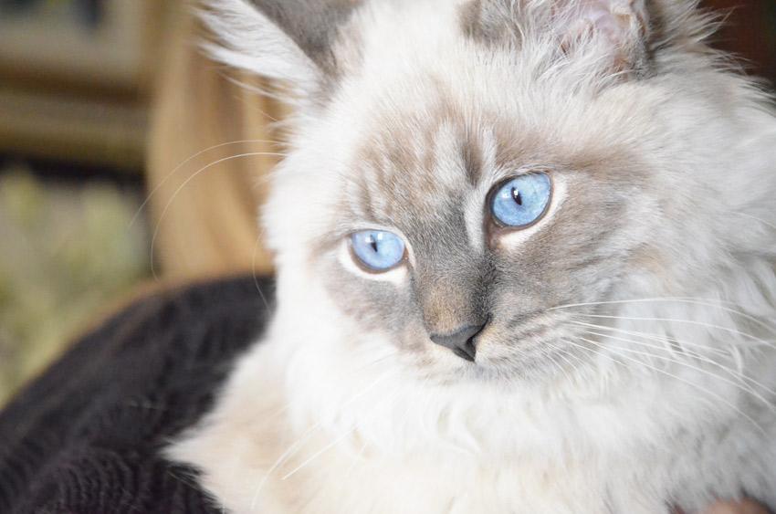 siberian-cat-