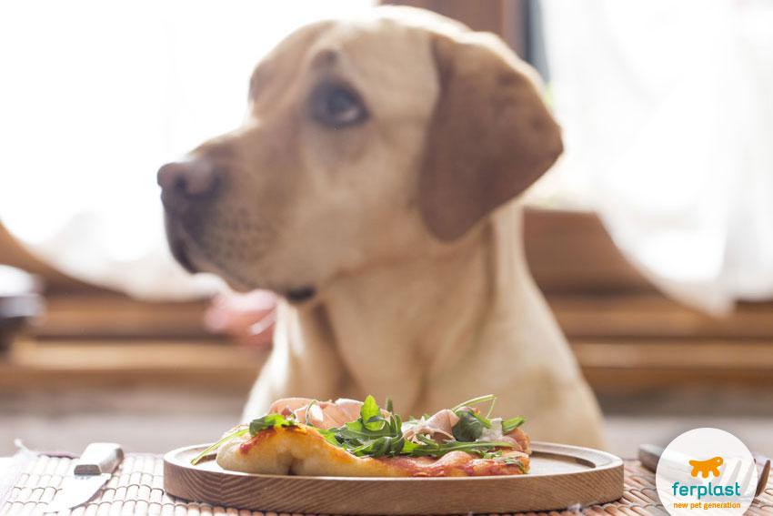 cane labrador con sguardo implorante davanti a un piatto di cibo