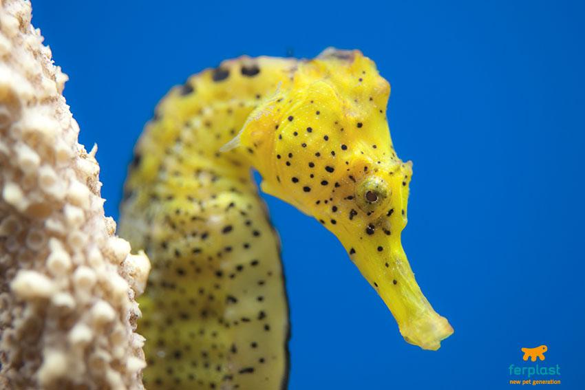 cavalluccio marino giallo con puntini neri