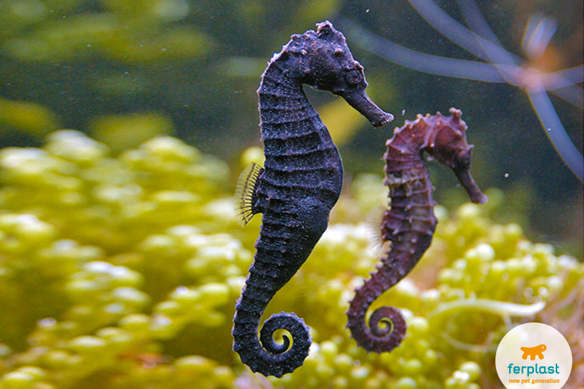 coppia di cavallucci marini in acquario