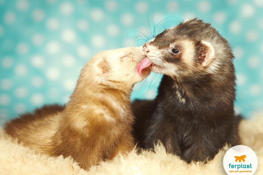 two adorable ferrets kissing and cleaning each other