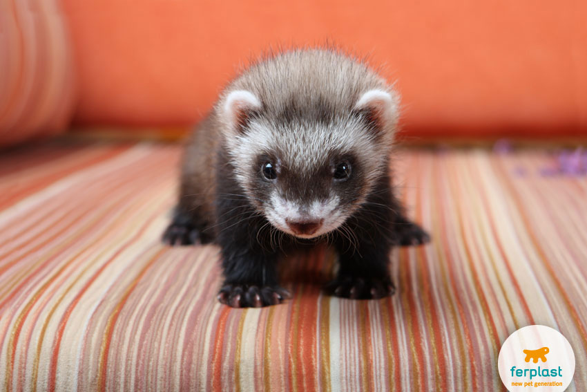 The Domestic Ferret A Cute And Cuddly Trouble Maker
