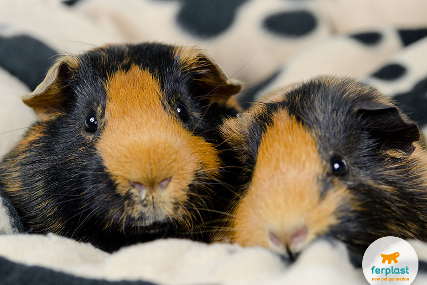 a couple of sweet black and brown guinea pigs
