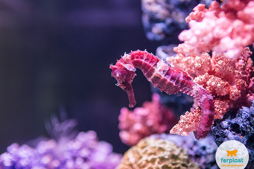 beautiful purple seahorse camouflaged against coral reef