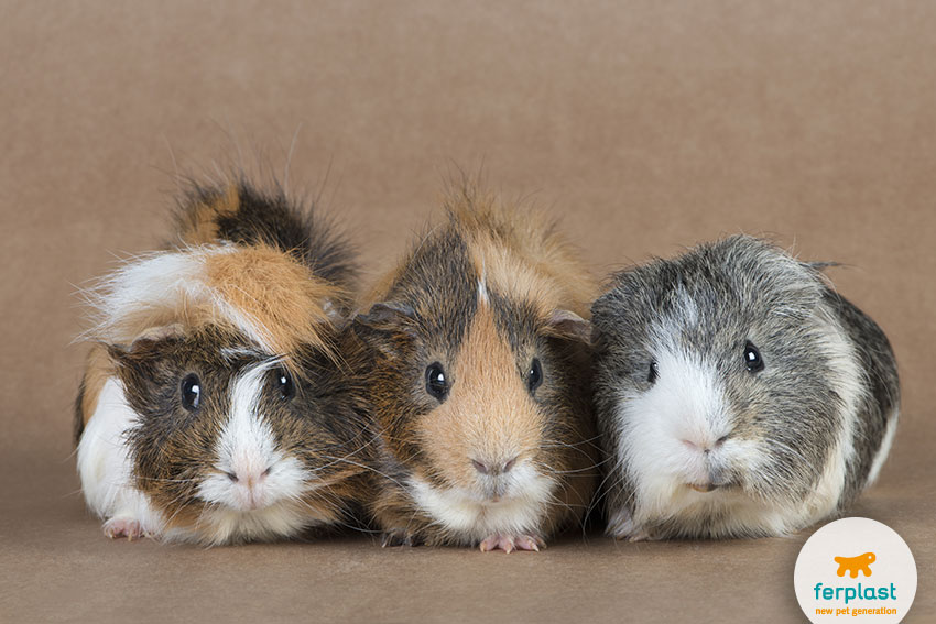 three adorable guinea pigs living together