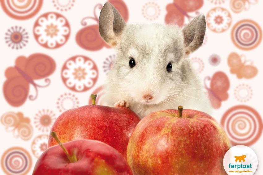 grazioso cincillà bianco con mele