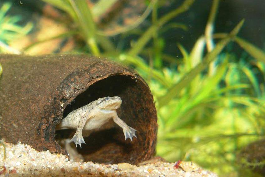 african dwarf frog hymenochirus boettgeri