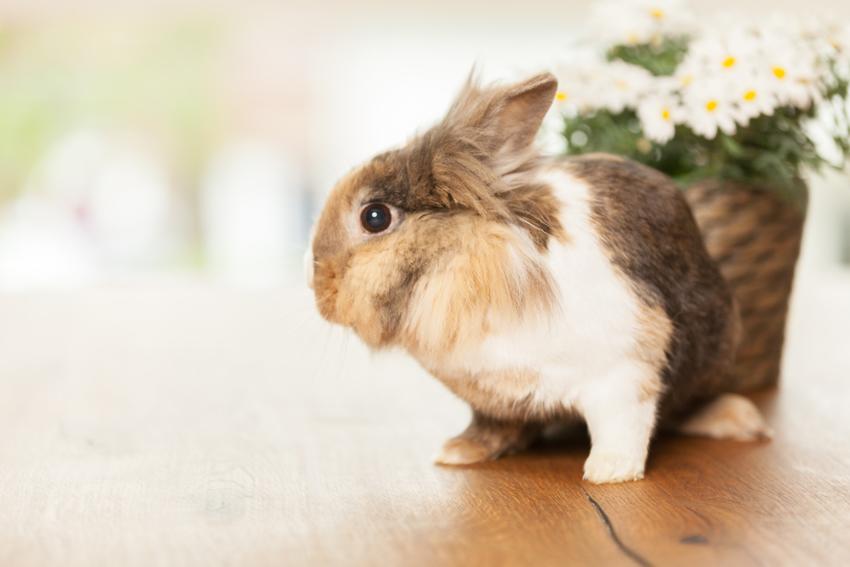 queda de pelos em coelhos
