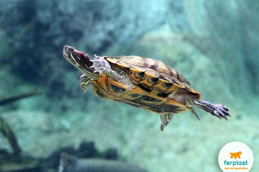 Tartarughe acquatiche tutto su accessori e vasche per for Vasca per tartaruga acquatica