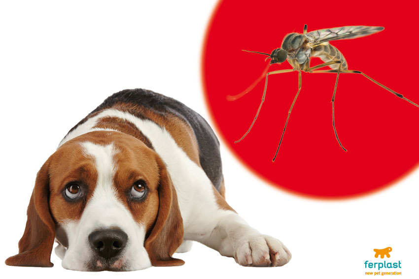 zanzara che porta la filaria nel cane
