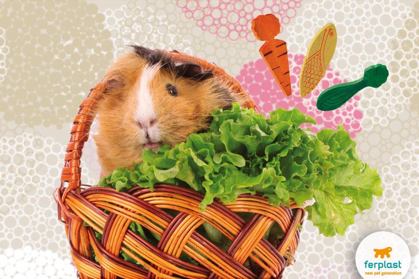 adorabile cavia dentro un cestino con insalata e giochi da rosicchiare in legno