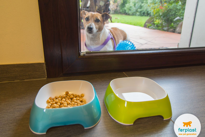 Jack Russell dog waits for food