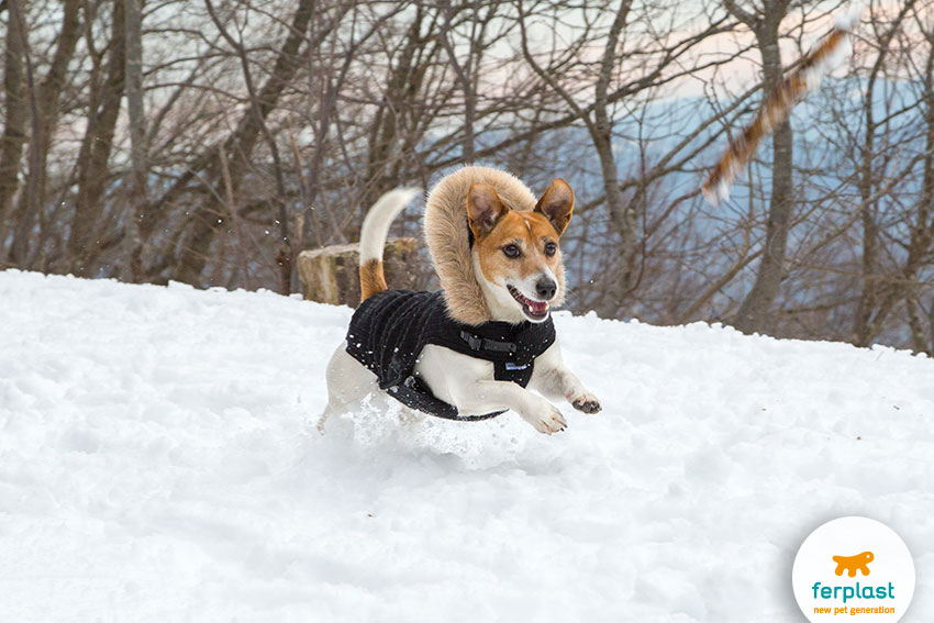 Jack Russell dog running in a field covered with snow