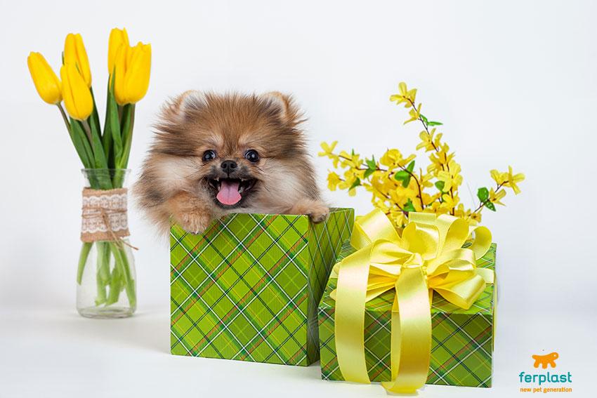 volpino di pomerania dentro un pacchetto regalo con fiori gialli