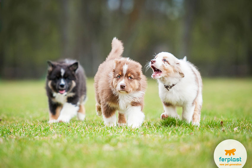 cute Australian Shepherd puppies running and playing together