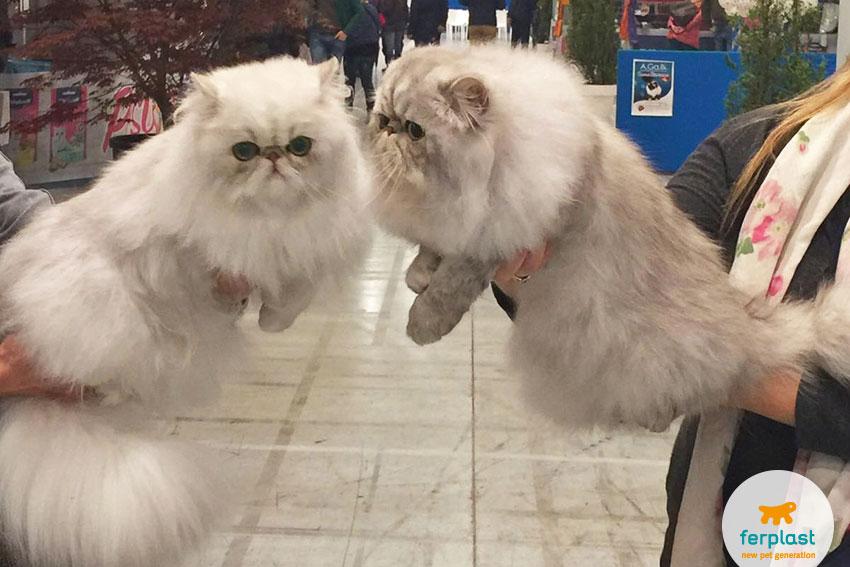 gatti persiani all'esposizione felina a vicenza
