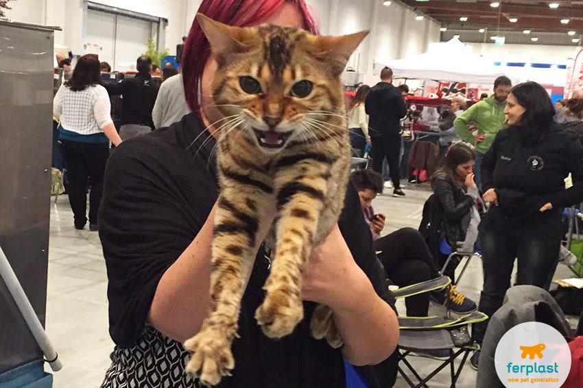 gatto bengala alla mostra felina internazionale a vicenza